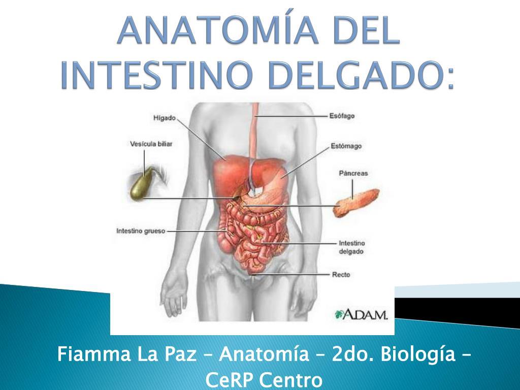 PPT - ANATOMÍA DEL INTESTINO DELGADO: PowerPoint Presentation - ID ...