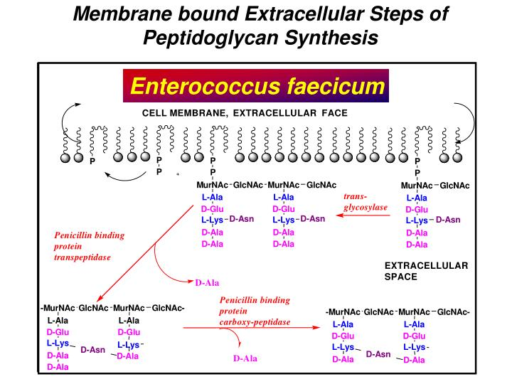 Membrane bound Extracellular Steps of Peptidoglycan Synthesis