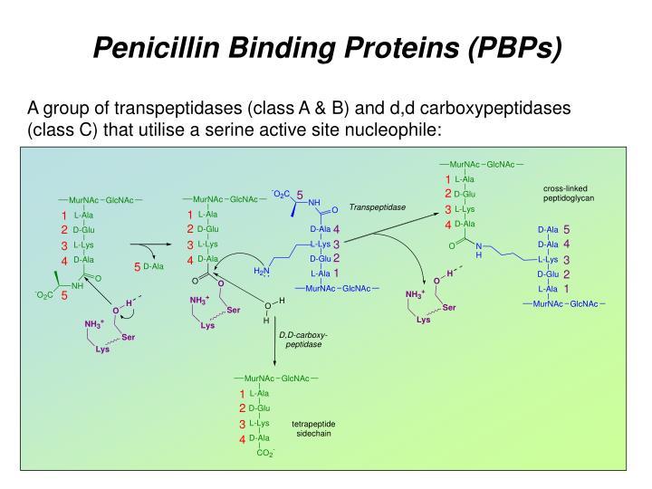 Penicillin Binding Proteins (