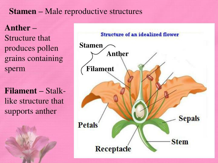 Ppt Learning Target Anatomy Of Flowers Powerpoint Presentation