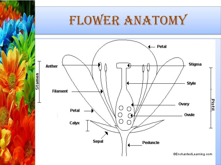 PPT - Flowers and Fruits PowerPoint Presentation - ID:2363015