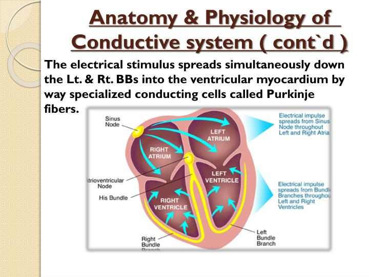 Anatomy & Physiology of  Conductive system ( cont`d )