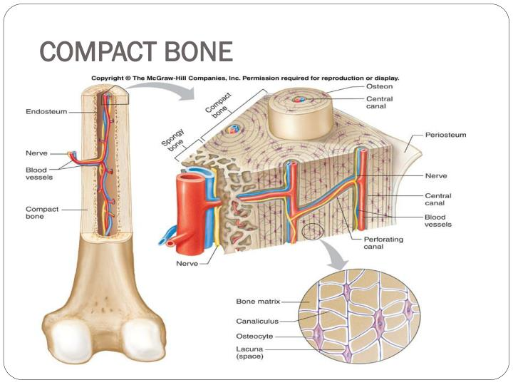 PPT - The Skeletal System Bone Anatomy PowerPoint Presentation - ID ...