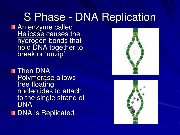 S Phase - DNA Replication