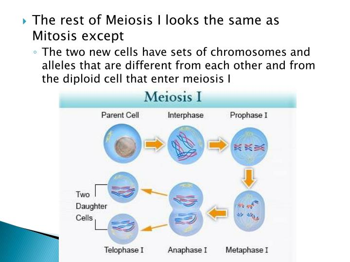 The rest of Meiosis I looks the same as Mitosis except