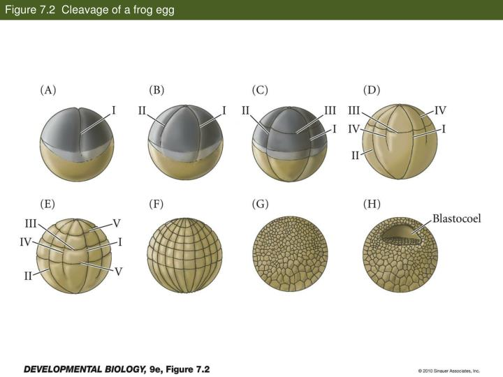 Figure 7 2 cleavage of a frog egg