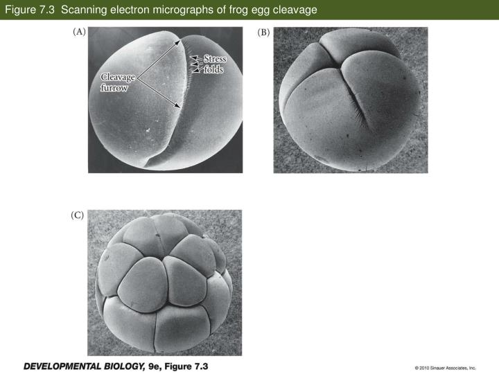 Figure 7 3 scanning electron micrographs of frog egg cleavage