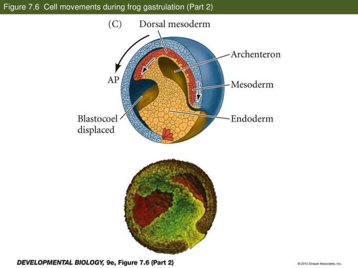 Figure 7.6  Cell movements during frog gastrulation (Part 2)