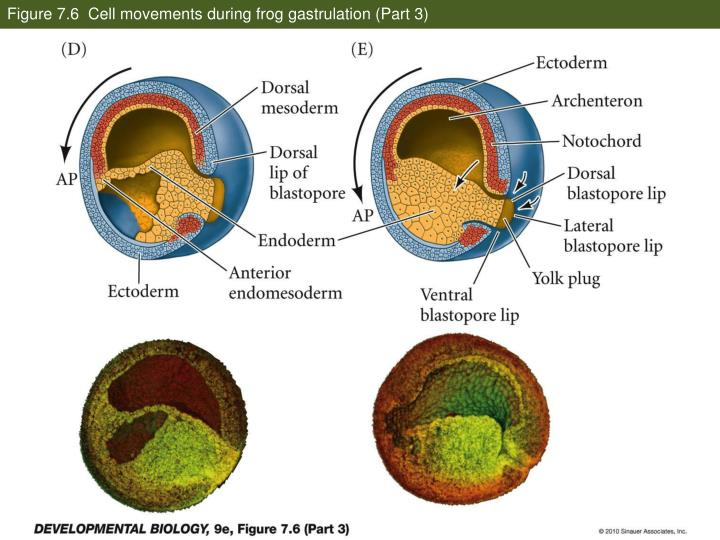 Figure 7.6  Cell movements during frog gastrulation (Part 3)