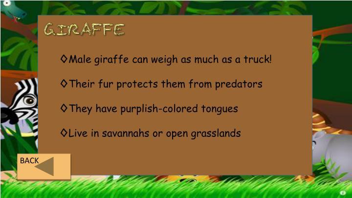 Male giraffe can weigh as much as a truck!