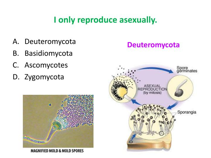 Species jamur deuteromycetes asexual reproduction