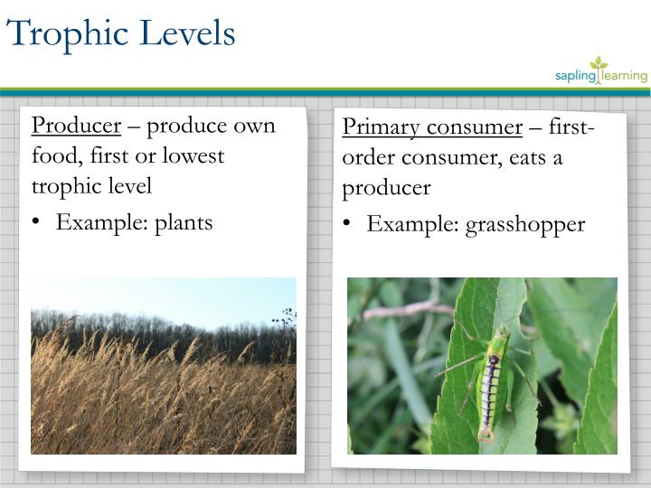 Ppt Energy Flow Through Trophic Levels Powerpoint Presentation