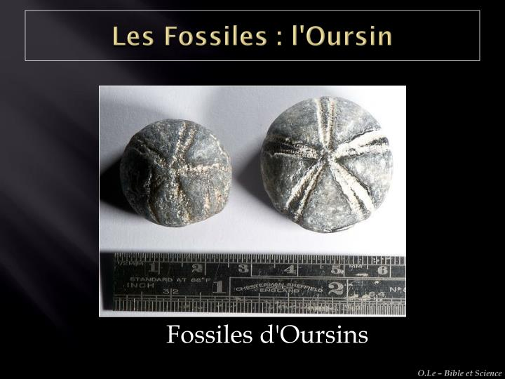 Les Fossiles : l'Oursin