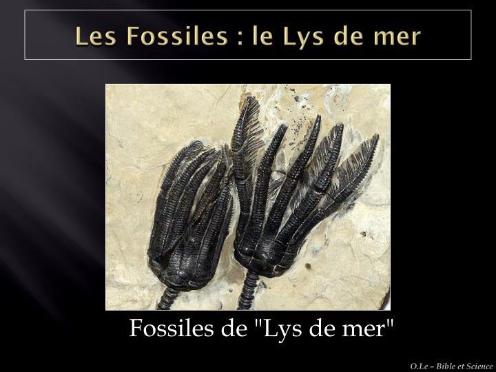 Les Fossiles : le Lys de mer