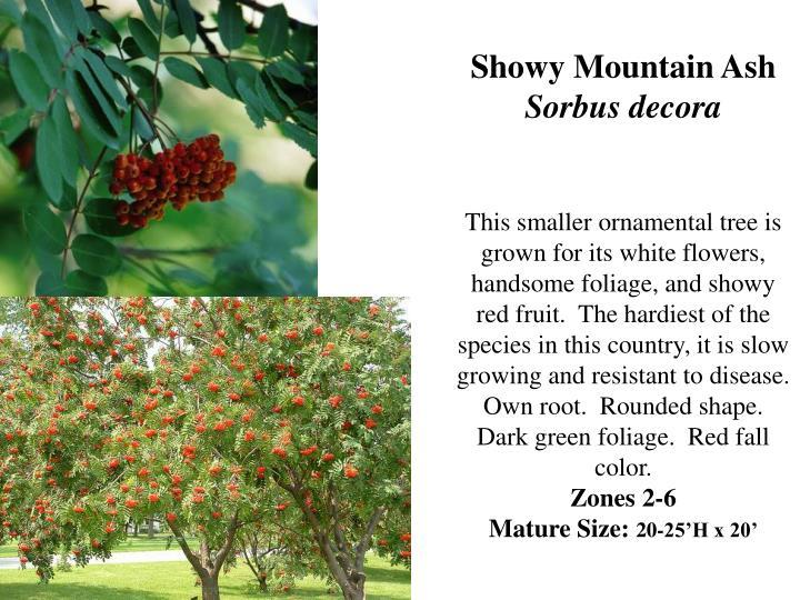 Showy Mountain Ash