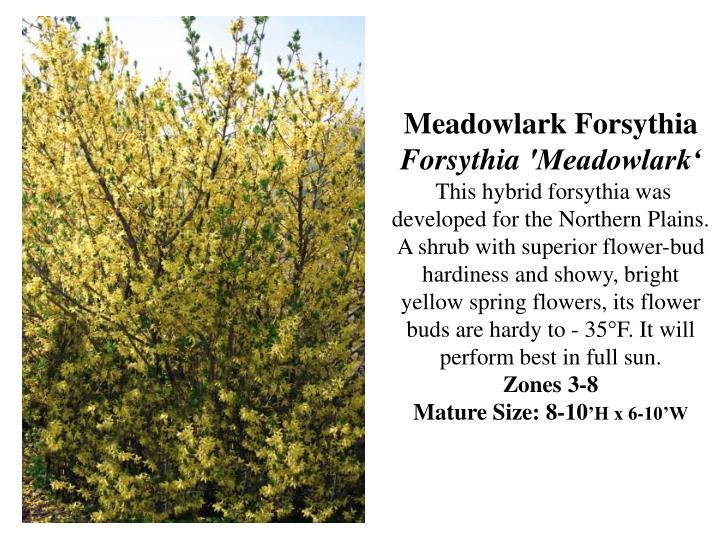 Meadowlark Forsythia