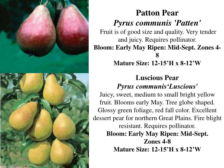 Patton Pear