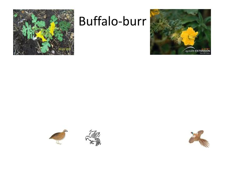 Buffalo-burr