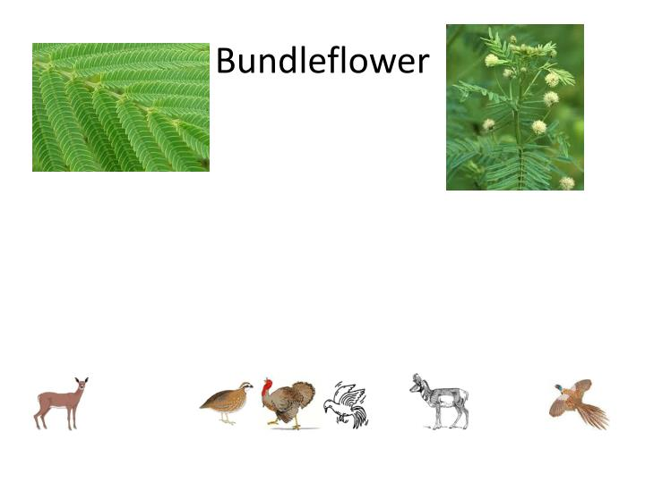 Bundleflower
