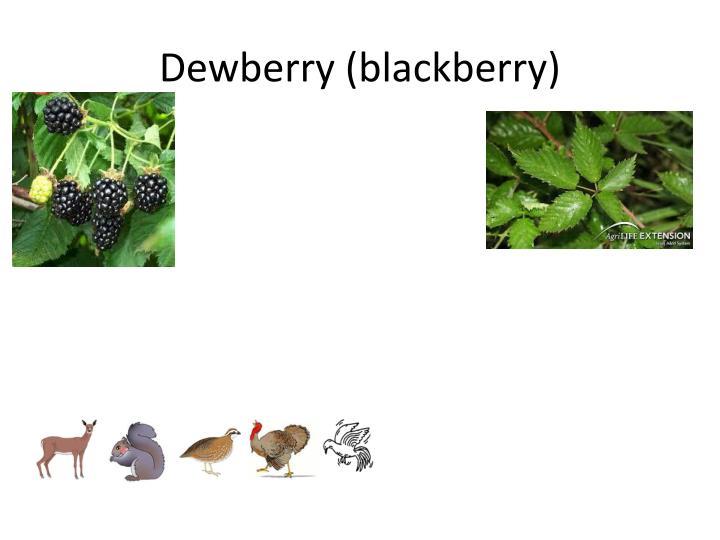 Dewberry (blackberry)