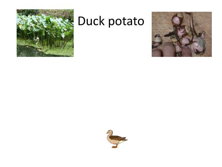 Duck potato