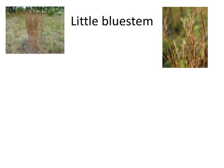 Little bluestem