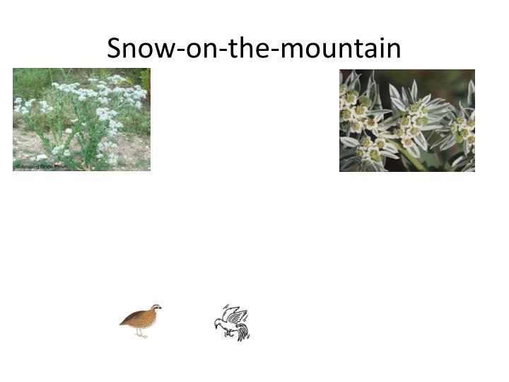 Snow-on-the-mountain