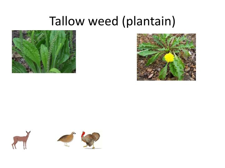 Tallow weed (plantain)