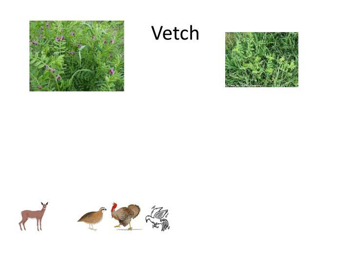 Vetch