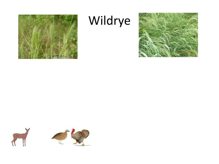 Wildrye