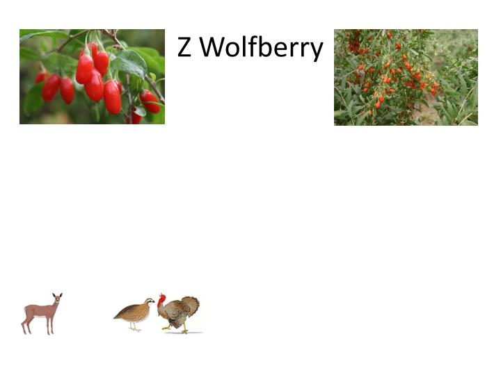 Z Wolfberry