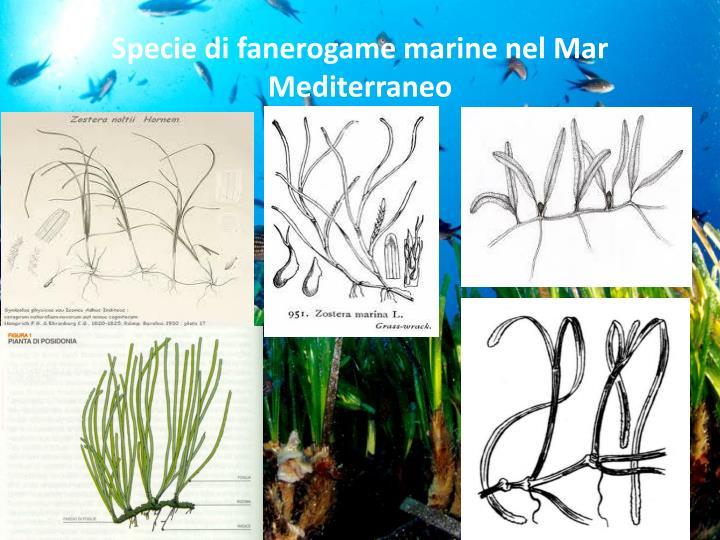 Specie di fanerogame marine nel mar mediterraneo