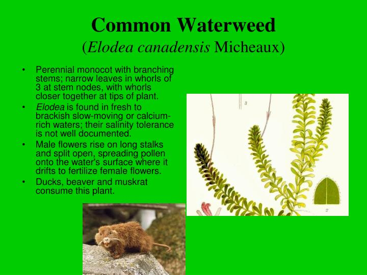 Common Waterweed