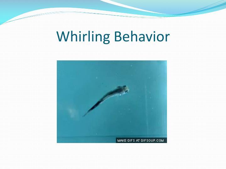 Whirling Behavior