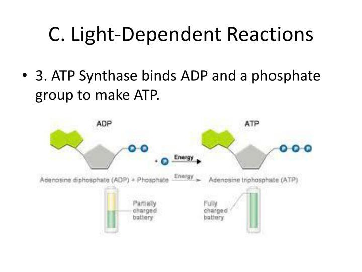C. Light-Dependent Reactions