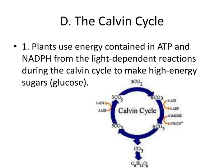 D. The Calvin Cycle