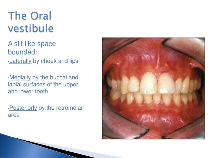 Ppt Oral Anatomy Powerpoint Presentation Id2381675