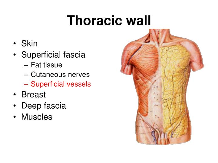 PPT - Chest Wall Anatomy PowerPoint Presentation - ID:2381795