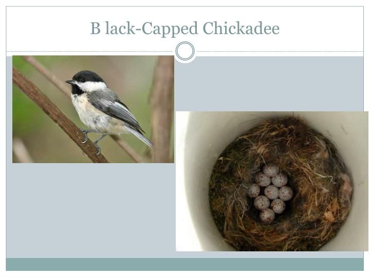 B lack-Capped Chickadee