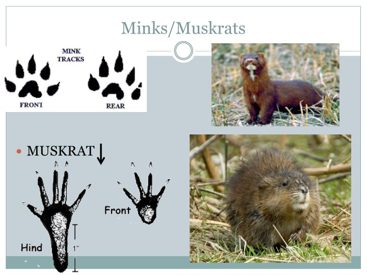 Minks/Muskrats