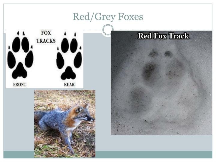 Red/Grey Foxes