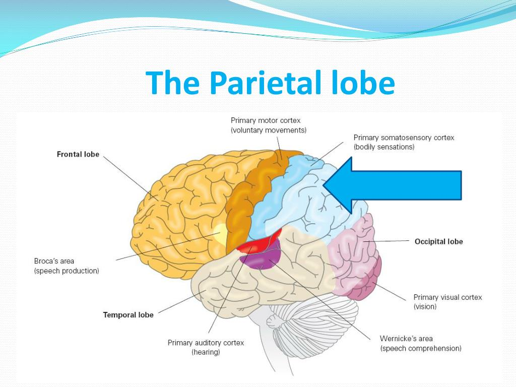 PPT - Four Lobes of the Cerebral Cortex PowerPoint ...