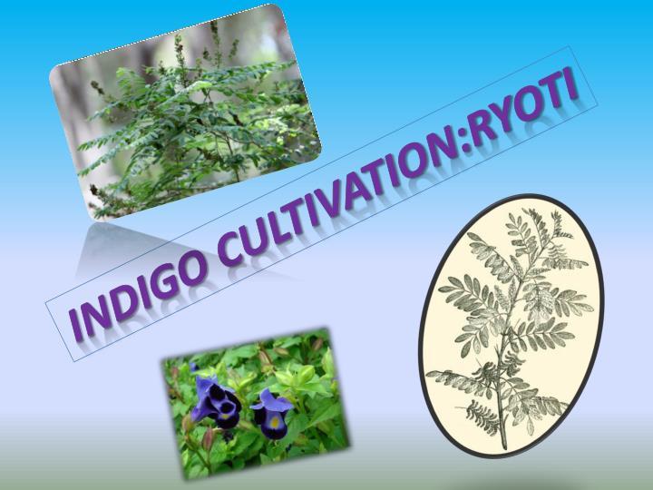 INDIGO CULTIVATION:RYOTI