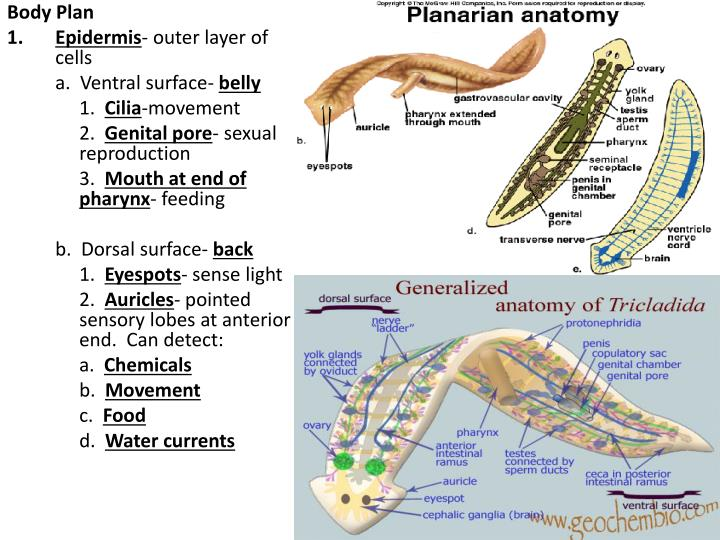 Ppt Phylum Platyhelminthes Flatworms Powerpoint Presentation Id