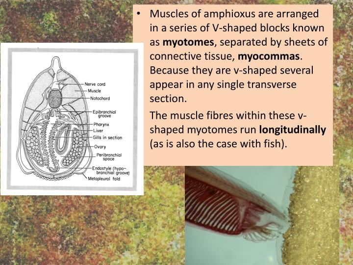 Muscles of amphioxus are arranged in a series of V-shaped blocks known as