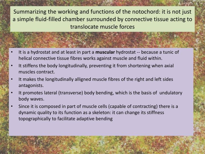Summarizing the working and functions of the notochord: it is not just a simple fluid-filled chamber surrounded by connective tissue acting to translocate muscle forces