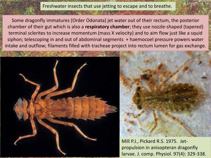 Freshwater insects that use jetting to escape and to breathe.