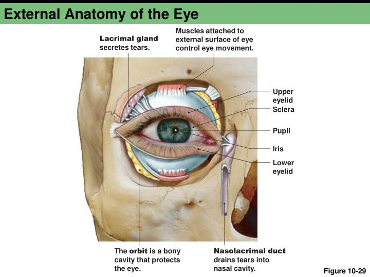 Luxury Eye External Anatomy Picture Collection Anatomy And