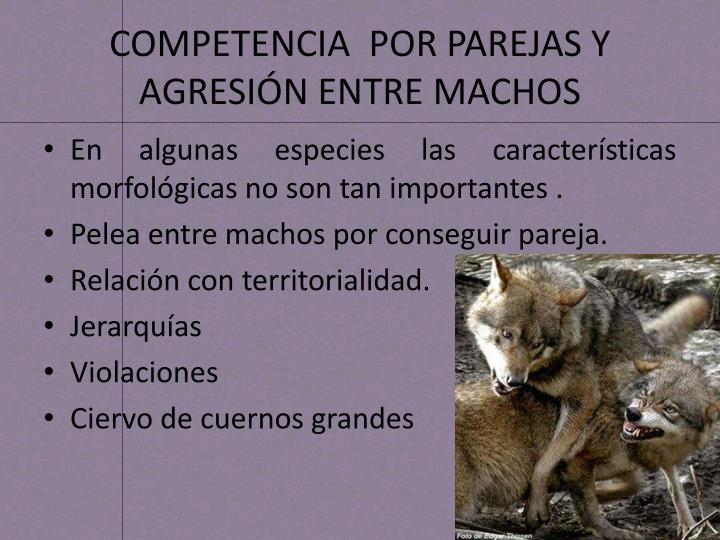 COMPETENCIA  POR PAREJAS Y AGRESIÓN ENTRE MACHOS