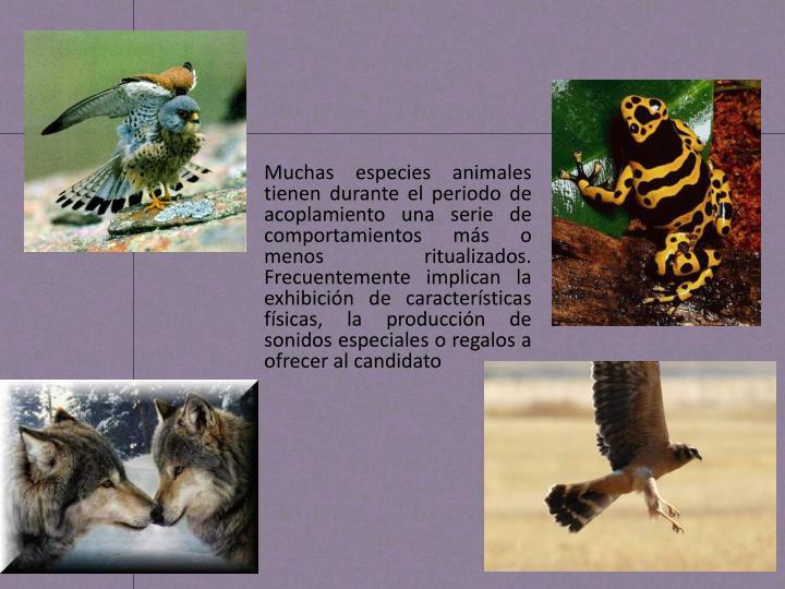 Muchas especies animales tienen durante el periodo de acoplamiento una serie de comportamientos más...